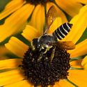 Megachile - Leaf-cutter Bee - Megachile inimica