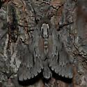 Pine Sphinx - Lapara coniferarum