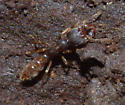 Ant ID Request - Stigmatomma pallipes