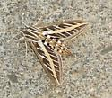 VERY large moth found yesterday on my porch! - Hyles lineata