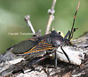 bug - Thasus neocalifornicus