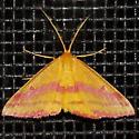 Chickweed Geometer Moth - Haematopis grataria