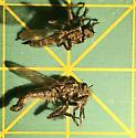 What Robber Fly am I ??? - male - female