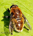 Which syrphid please…………. - Merodon equestris