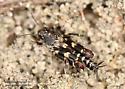 Tridactylidae ? - Ellipes minuta