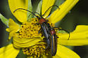 Mating Longhorn Beetles - Mannophorus laetus - male - female