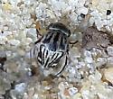 Tumbling Flower Beetle? - Tomoxia lineella