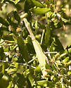 Mantis - Stagmomantis carolina - female