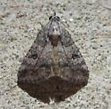 small moth - Eubolina impartialis