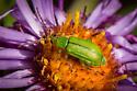 Green Bug - Diabrotica barberi