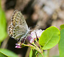 Some butterflies and skippers from Warner Pass - Plebejus anna - female