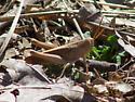 Tan grasshopper - Schistocerca damnifica