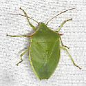 Green Stink Bug - Loxa flavicollis