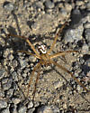 Widow? - Latrodectus hesperus - male