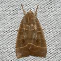 Even-lined Sallow Moth - Ipimorpha pleonectusa