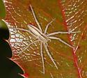 running crab spider - Tibellus oblongus
