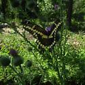 swallowtail sp. - Papilio cresphontes