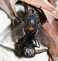 mating tachinids - Leschenaultia - male - female