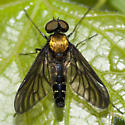Golden-backed Snipe Fly - Chrysopilus thoracicus - male