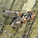 Picture-winged Fly - Euxesta pechumani
