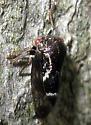 Treehopper - Ophiderma salamandra
