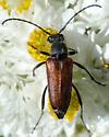Flower Longhorn? - Anastrangalia sanguinea