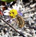 Bee Fly (Bombylius sp.?) - Anastoechus