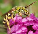 metallic green bee - Agapostemon virescens - male