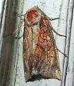 Aster Borer - Papaipema impecuniosa
