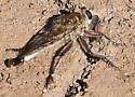 Promachus? - Efferia varipes