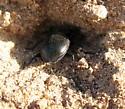 Burrowing Darkling Beetle? - Calosoma