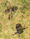 Water Bugs - Graptocorixa abdominalis