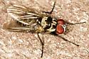 fly - species of Anthomyia? - Anthomyia