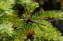 Emerald Sp. - Somatochlora semicircularis