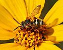 bee? genus or species? - Epeolus pusillus - male