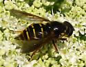 unknown fly - Sericomyia chalcopyga