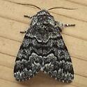 Noctuidae: Panthea virginarius - Panthea virginarius