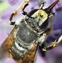 Leaf Cutting bee - Anthidium manicatum - male