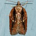 Masked Leafroller  - Acleris flavivittana - female