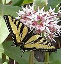 Western Tiger Swallowtail (Papilio rutulus) - Papilio rutulus