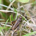 Cricket - Allonemobius fasciatus - female