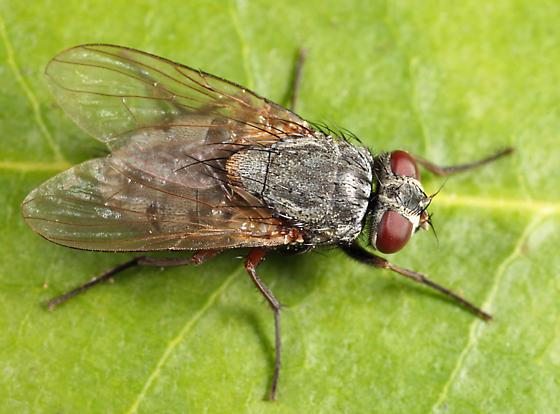 fly - Muscina stabulans