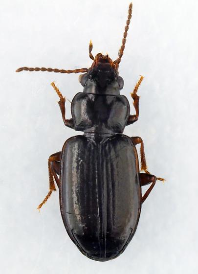 Ground Beetle - Tachyta inornata