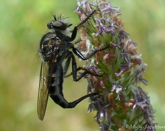 robber fly - Efferia aestuans