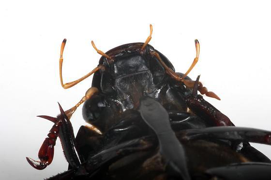 Water Scavenger Beetle - Hydrophilus triangularis
