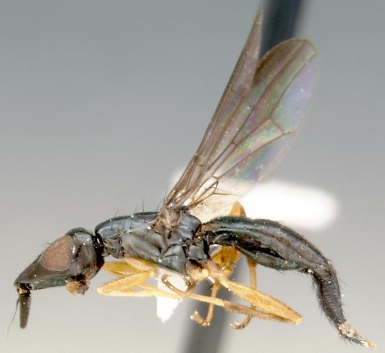 weird blue kansan fly - Coniceps niger - female