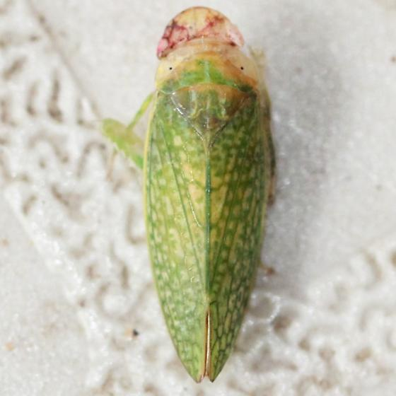 Pink Faced Green Textured Leafhopper - Dorsal - Rugosana querci