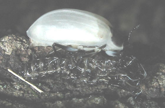 unkn silver beetle - Gibbifer californicus