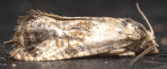 Cochylis hofmanana - Cochylichroa hoffmanana - male