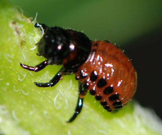 Colorado Potato Beetle: Larva - Leptinotarsa decemlineata